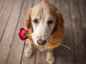 Pies roża miłośc